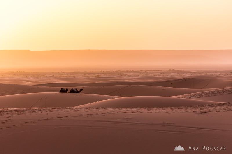 Camels after sunrise - Erg Chebbi sand dunes of the Sahara