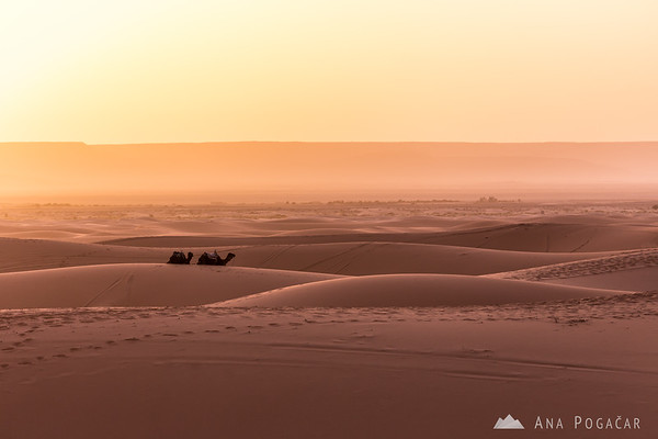 Camels after sunrise - Erg Chebbi sand dunes of the Sahara