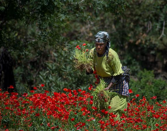 Poppy farmer, Morocco