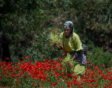 Poppy farmer, Morocco
