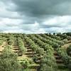 Olive trees-Volubilis