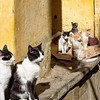 Cats of Fes