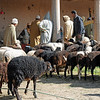 Livestock market on the Sahara in Morocco