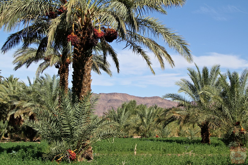 Draa valley palm trees, Morocco