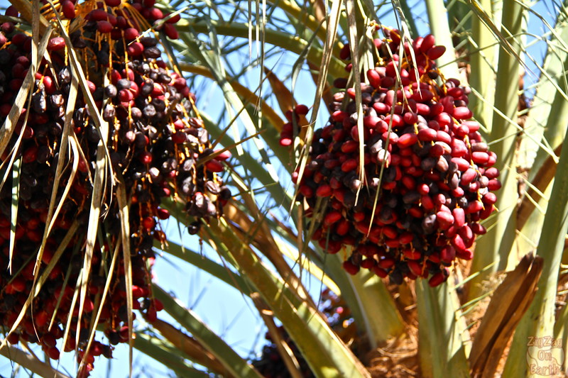 Draa valley - dates on palm trees, Morocco