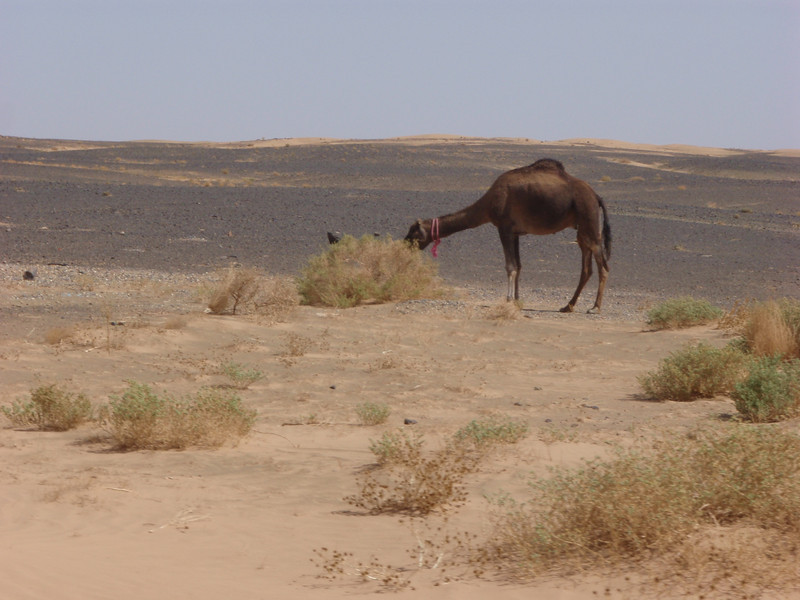 More camels, the only animals out there