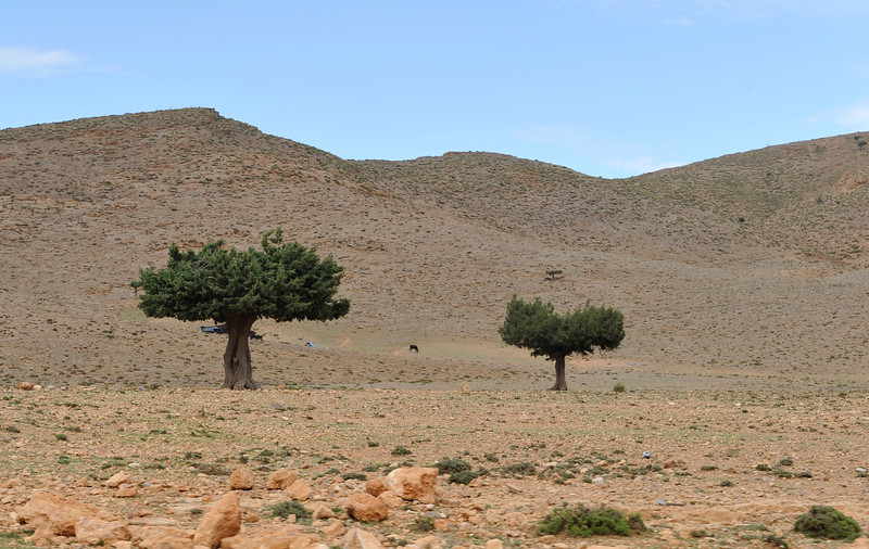 Argan trees. Argan oil comes from the fruits which are eaten by tree climbing goats. Women collect the dung & process them to obtain the fine cooking & cosmetics oils. Morocco is the only country to have these trees.
