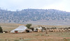 Berber tents & sheep in an open field
