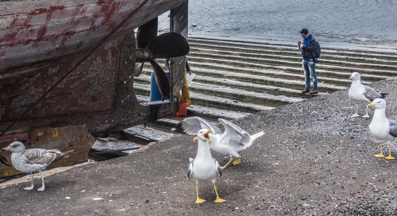 gulls clamoring for a handout