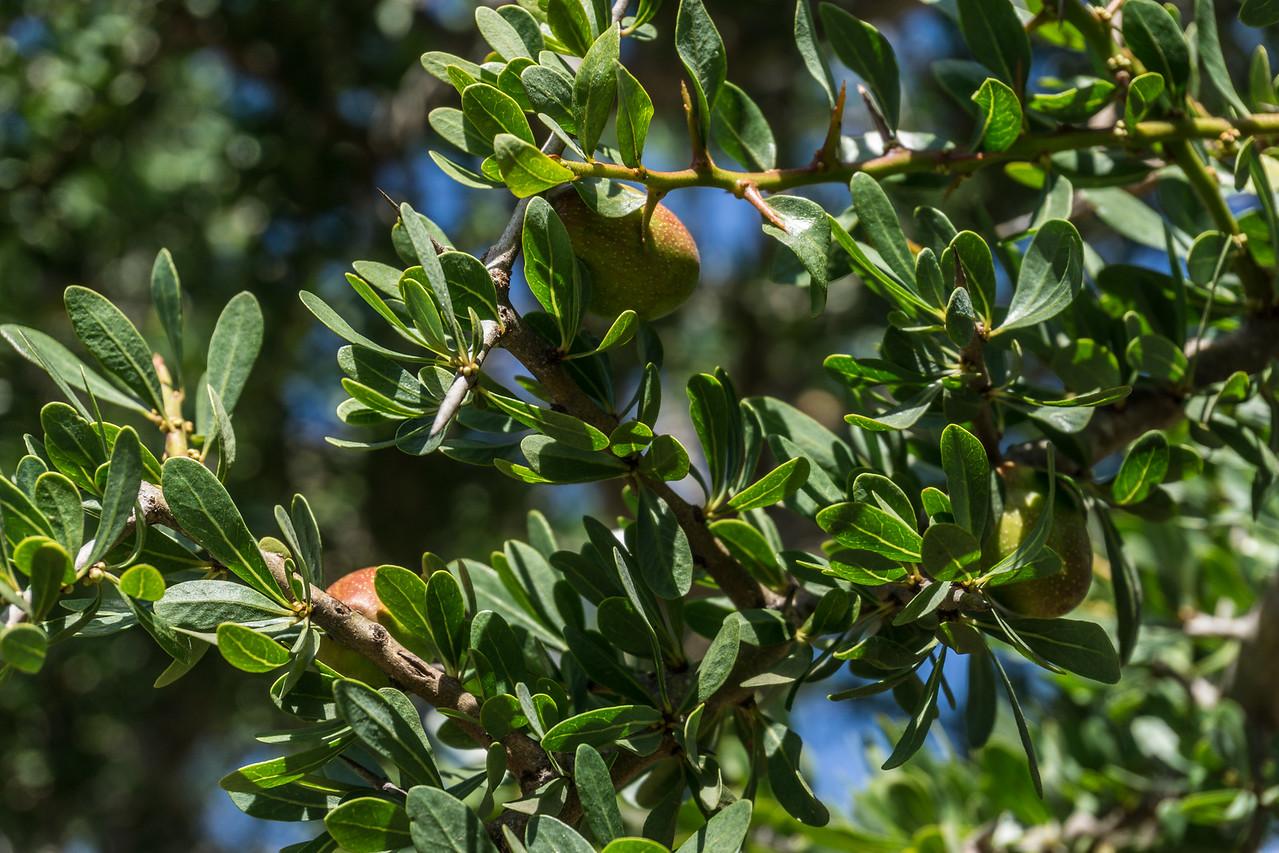 The argan fruit