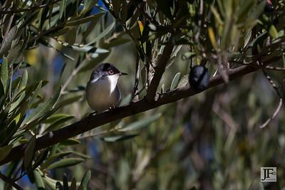 Sardinian Warbler, Ourigane