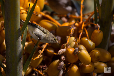 Western Bonelli's Warbler, Ourigane