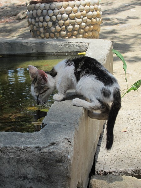 Scraggy young cat re-hydrating in the midday heat - Volubilis, Morocco