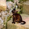 Moroccan cat.