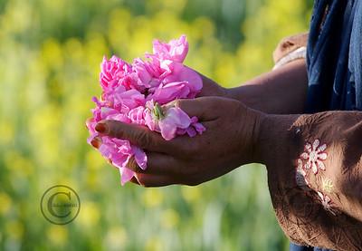 """Kelaa Mgouna 04/05/07 Fte de la Rose ˆ Kelaa M'gouna ˆ l'est de Ouarzazate,Maroc. Les roses """"Damascus"""" sont cultivŽes en bosquets sŽparant les cultures vivrires et ramassŽes par les femmes au levŽe du soleil pour garder tout leur parfum.  ©didierbaverel.com/Starface"""