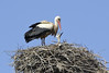 Stork and two young, Marrakech, Mon 28 April 2014