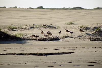 1/14/05 Marbled Godwits (Limosa fedoa). Bay Birding Cruise, 2005 Morro Bay Winter Bird Festival event, San Luis Obispo County, CA