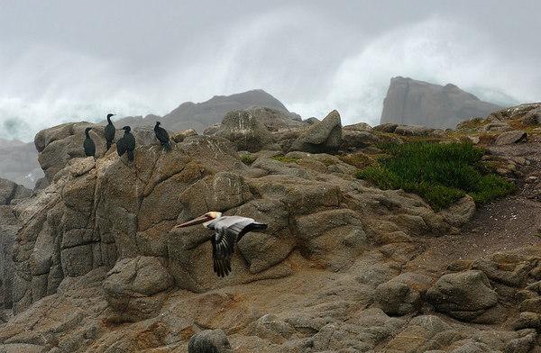 Brown Pelican and Cormorants, Morro Bay