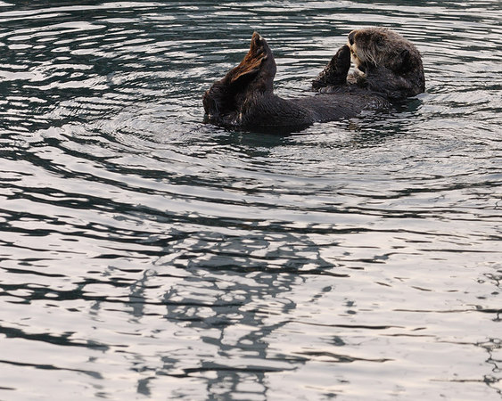 Sea Otter, Morro Bay