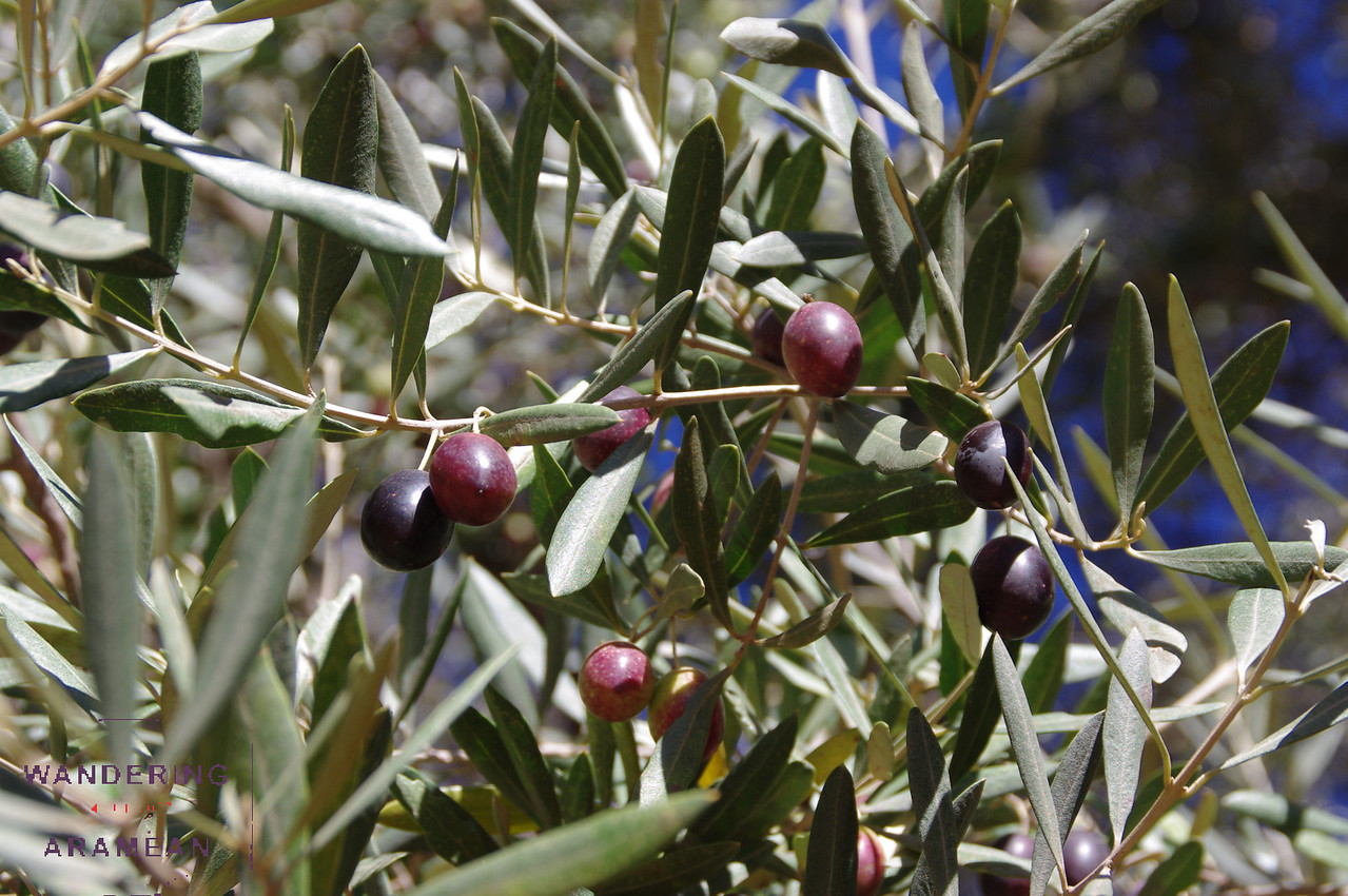 Up close in an olive grove
