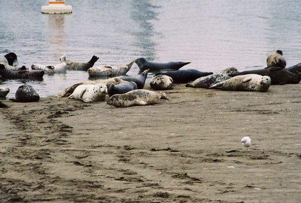 8/18/04 Harbor Seals