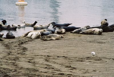8/18/04 Harbor Seals