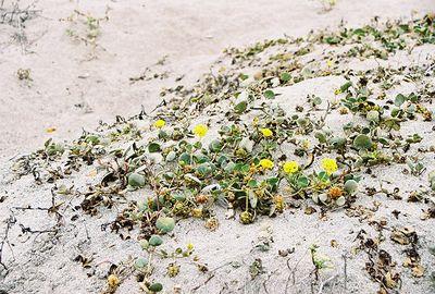 8/18/04 Yellow Sand Verbena