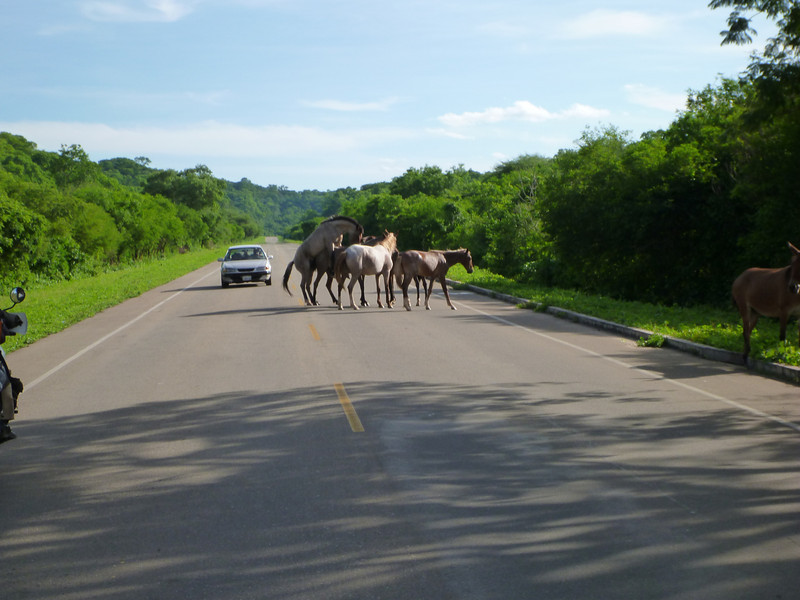 Horses mating in the road, on the way to the Bolivian border.