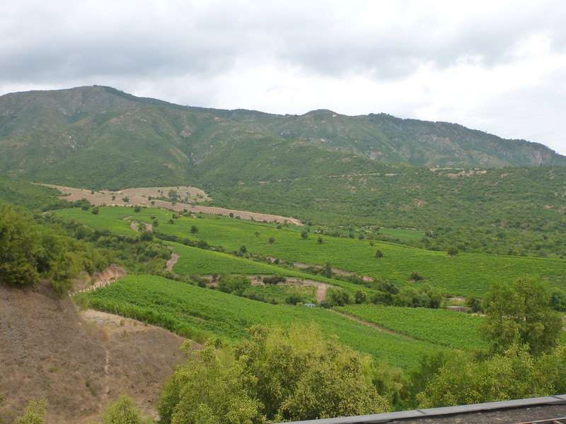 View of the grapes from Lapostolle winery in the Colchagua valley.