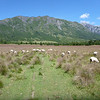 sheep pasture in las Escalas, Reserva Nacional Futaleufú