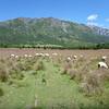 sheep pasture in las Escalas, Reserva Nacional Futaleufú