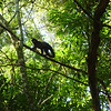 monkey climbing a branch along the trail  (Cataratas de Iguazú)