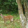 Red brocket deer closer up.   (Foz do Iguassu)