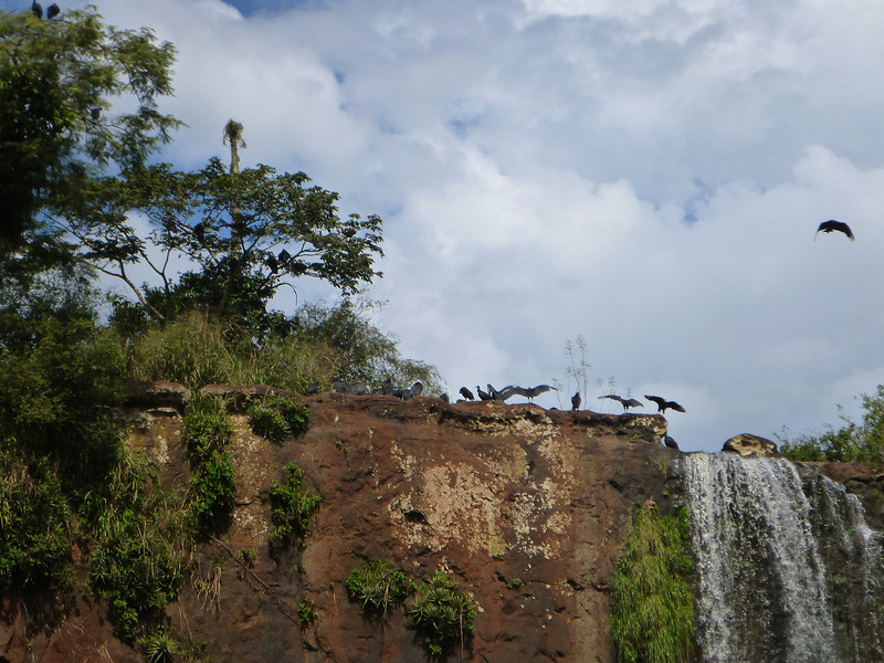 birds on the cliff  (Cataratas de Iguazú)