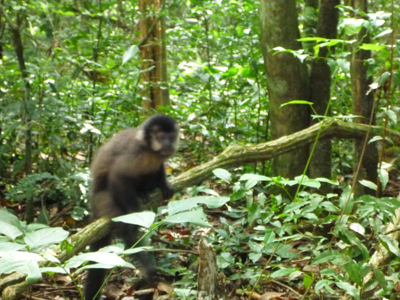 monkey along the trail  (Cataratas de Iguazú)