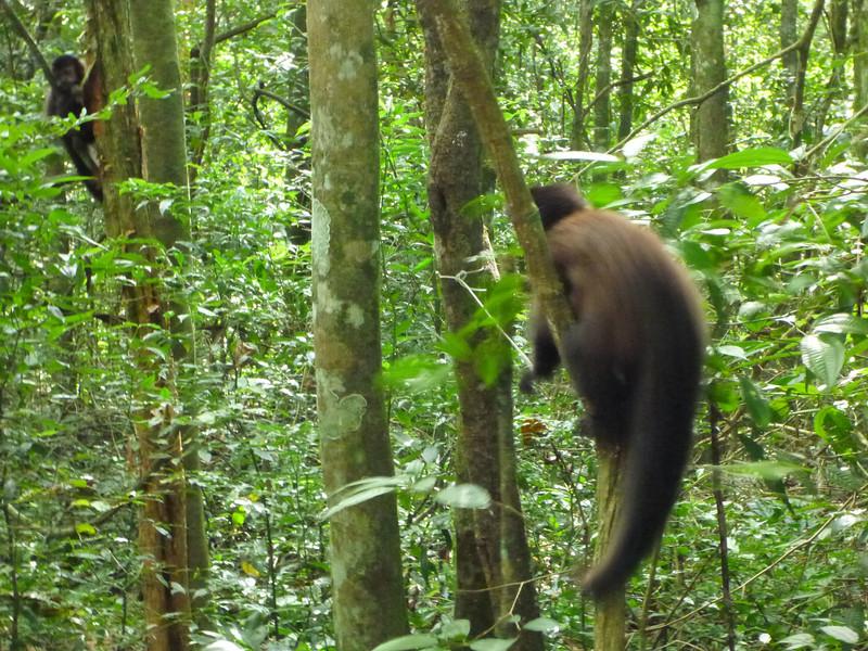 monkeys along the trail  (Cataratas de Iguazú)