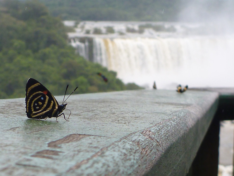 butterflies  (Foz do Iguassu)
