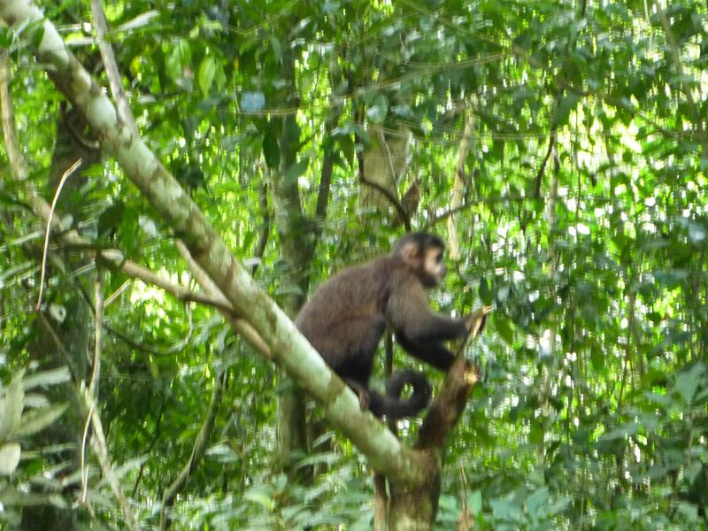 monkey in action along the trail  (Cataratas de Iguazú)