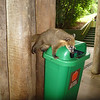 Coatis are most at home at the snack shops  (Foz do Iguassu)