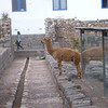 Llama inside the ruins of Cusco