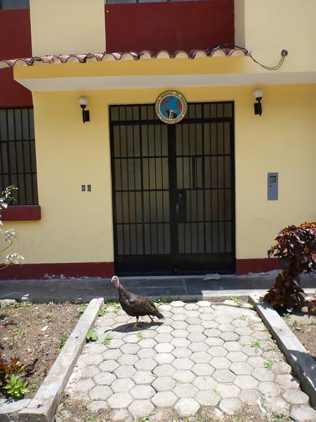 At the Ecuador-Peruvian border, turkeys run the place.