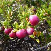 Calafate berries, Torres del Paine