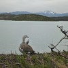 Bird on the banks of Lago Pehoé, Torres del Paine