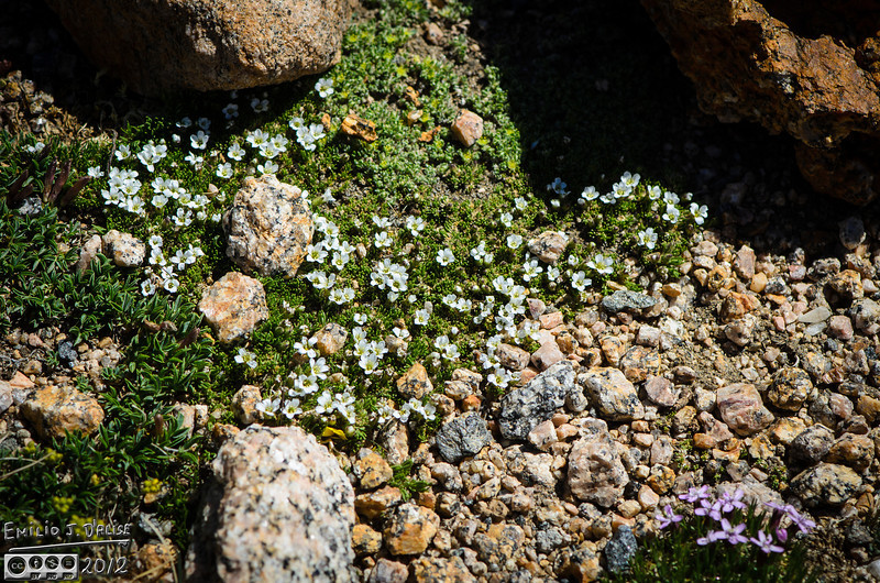 A bit of everything . . . rocks, dwarf clover, more Rocky Mountain nailwort, and Alpine Sandworth, and more rocks.
