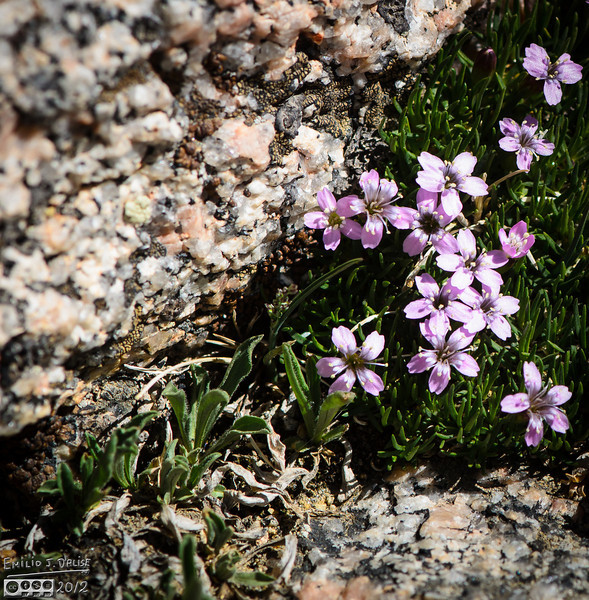 A close-up showing the detail of both the flowers (Moss Campion) and the rocks.