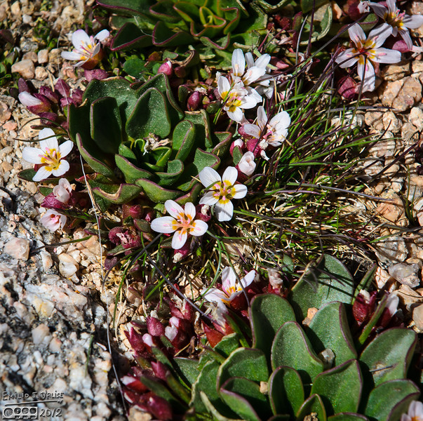 More Alpine Springbeauty in a rocky and grassy setting.