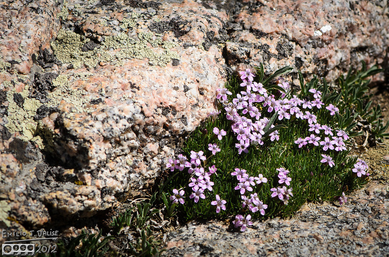 Yet some more Moss Campion, but also check out the original size to see the details of the lichen and rocks.
