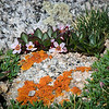 Springbeauty is a name that fits.   <br /> <br /> I do like the combination of rocks, lichen, and alpine flowers . . . it's like a miniature magical world of colors and textures.