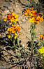 At first I thought these were Alpine Wallflowers, but on closer examination I think they are Western Wallflowers.<br /> <br /> Regardless, I like their colors.