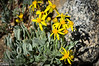 More yellow flowers . . . I'm naming these Golden Aster Villosa Flowers.   <br /> <br /> . . . Damn!  . . . someone beat me to it.